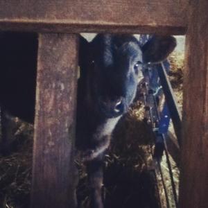 Hello Baby Moo-Cow!